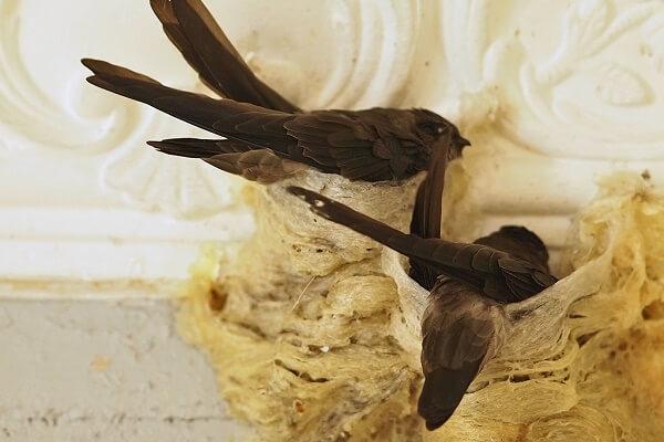 Chim yến ăn gì